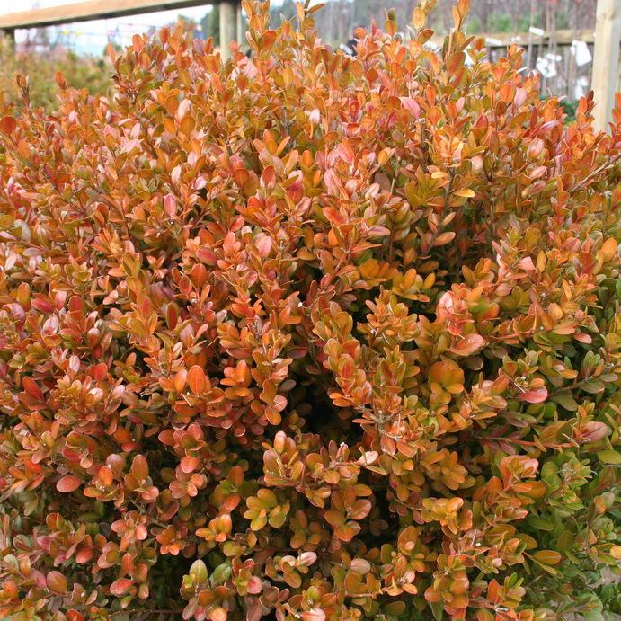 Variétés pour topiaires Buxus microphylla 'Faulkner'