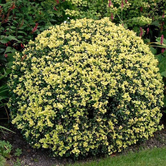 Variétés à usages multiples Buxus sempervirens 'Aurea Pendula'