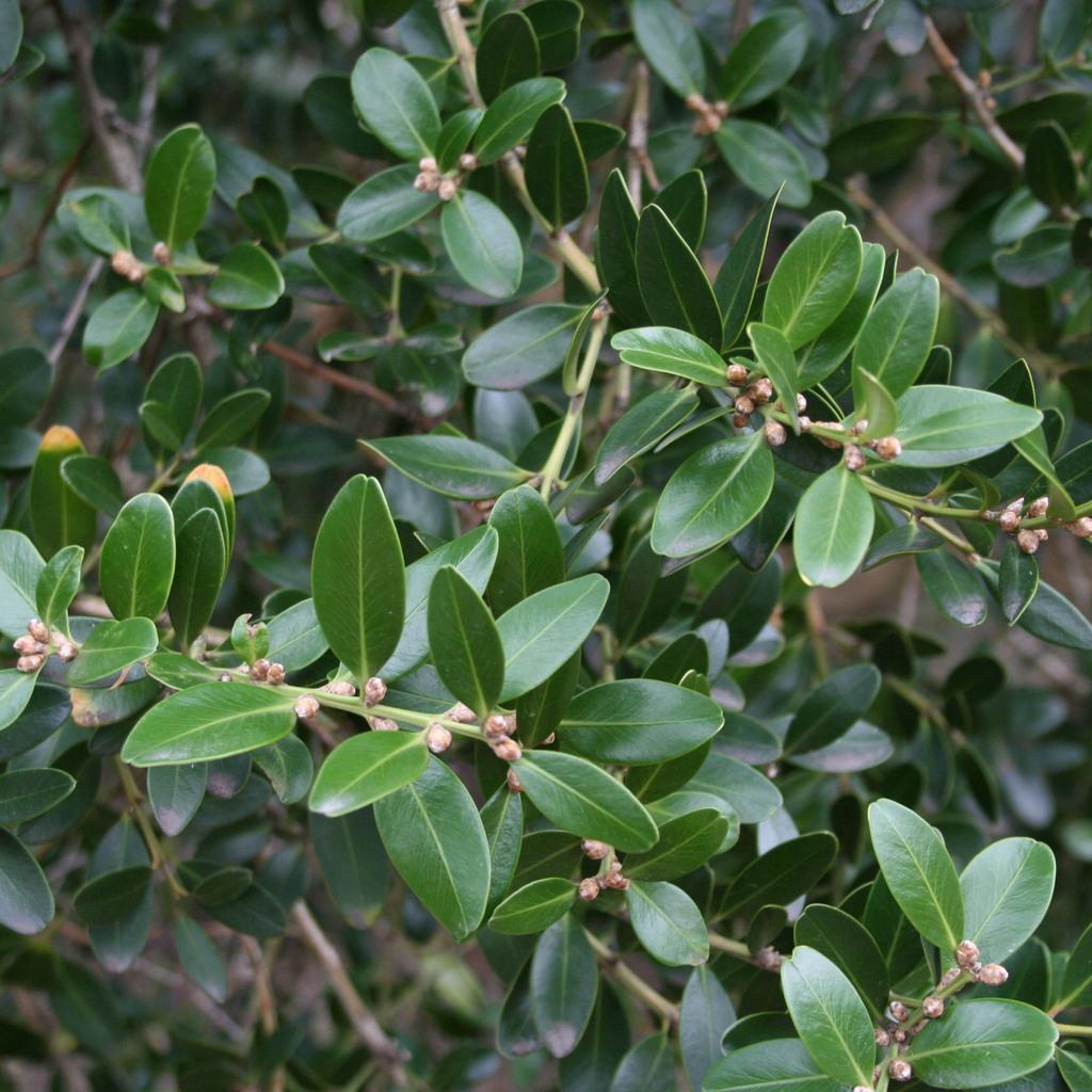 Variétés à usages multiples 'Buis de Mahon' (Buxus balaerica)