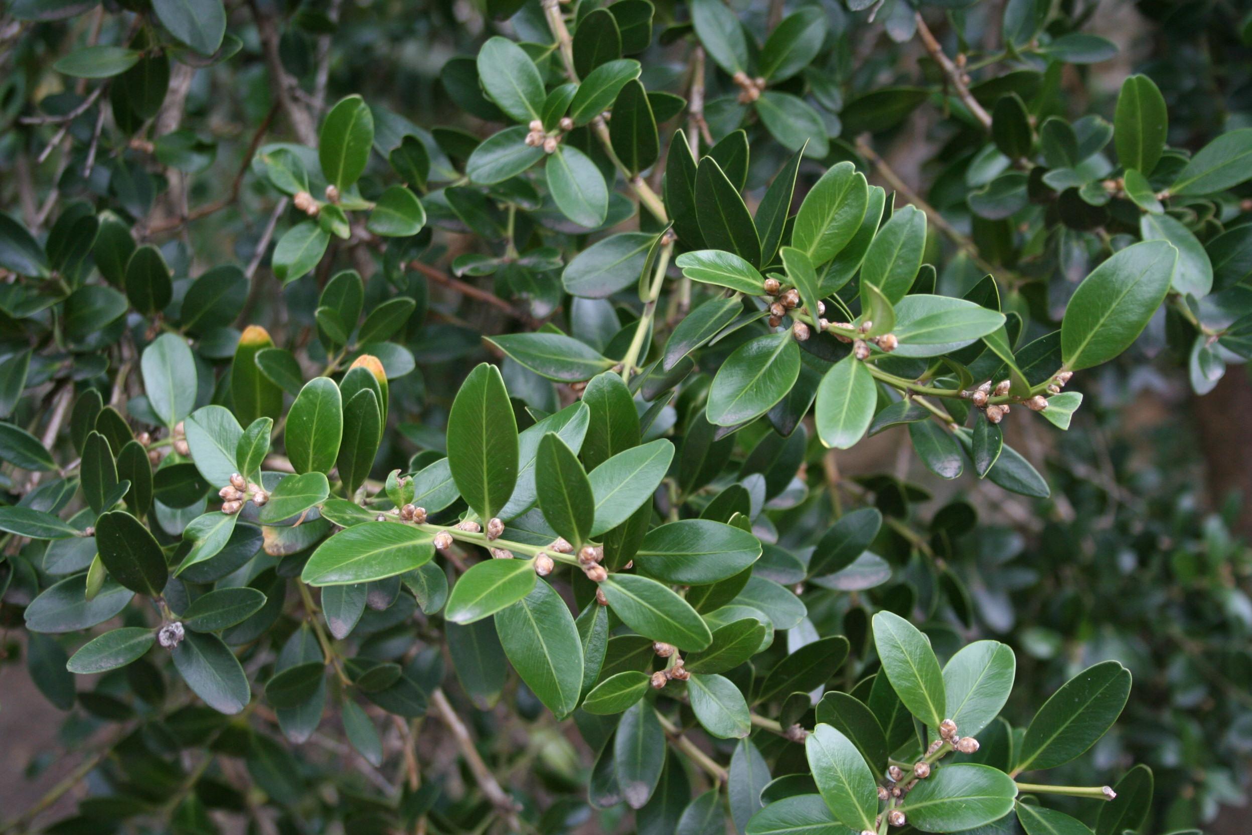Buis planter et tailler ooreka for Type de plante
