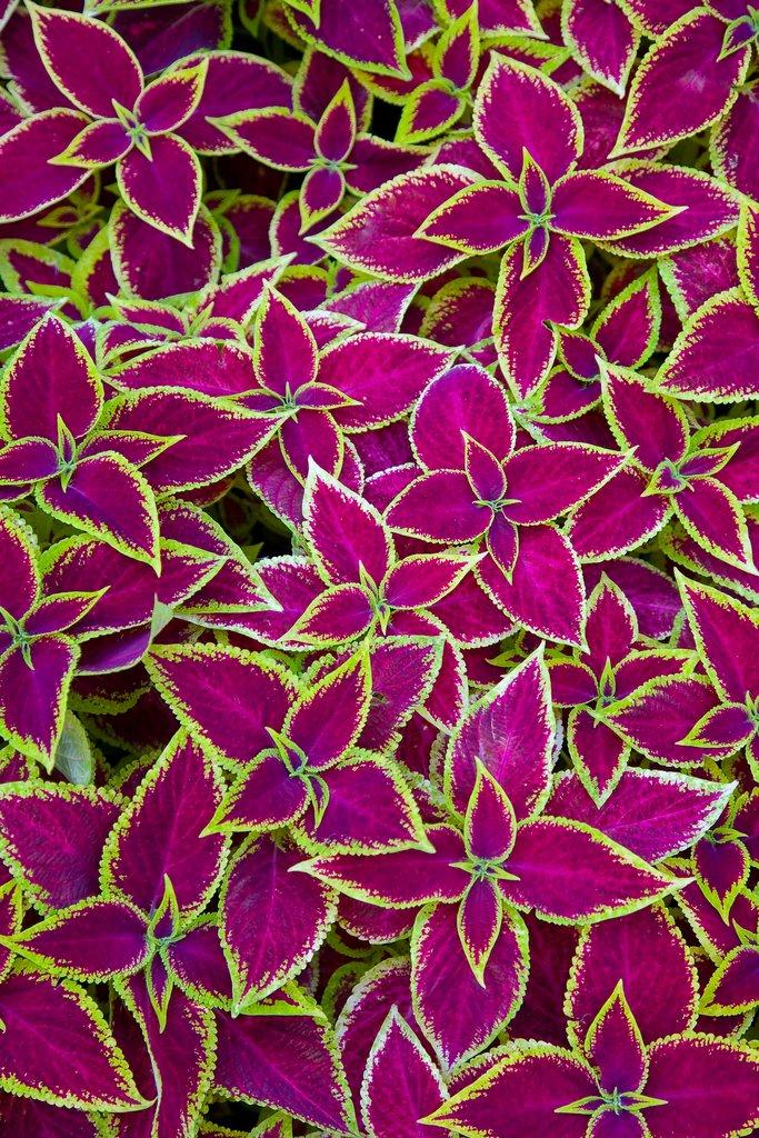 Col us planter et cultiver ooreka for Tous les plantes