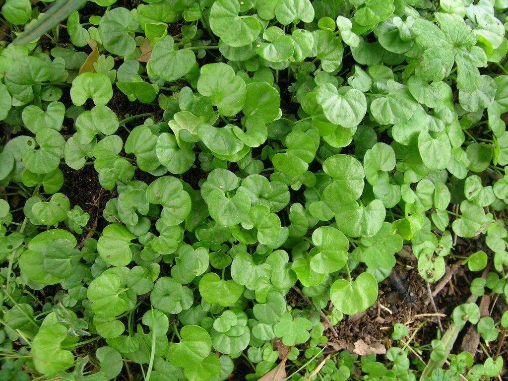 Dichondra planter et cultiver ooreka for Entretien pelouse mousse