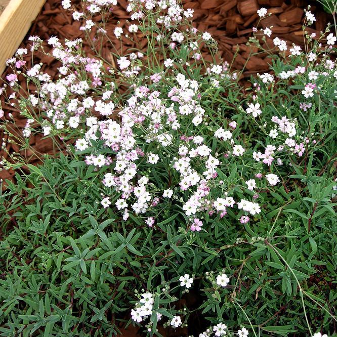 Hybrides de Gypsophila repens 'Rosea'