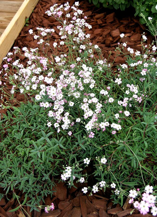 gypsophile planter et cultiver ooreka With modeles de rocailles jardin 4 gypsophile planter et cultiver ooreka