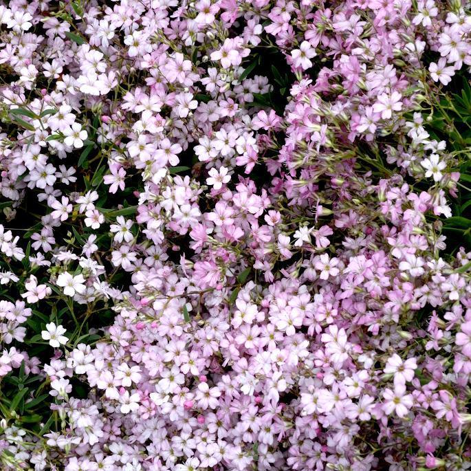 Hybrides de Gypsophila repens 'Rosa Schönheit'