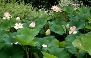 Multiplication du lotus