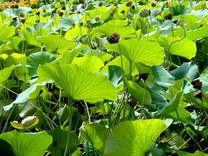 planter un lotus