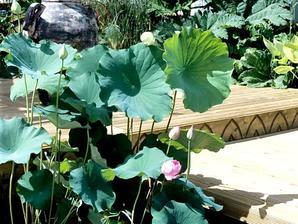 Culture et entretien du lotus