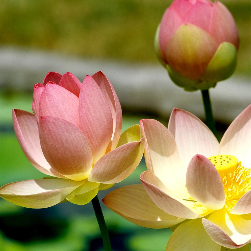 Petit développement Lotus sacré 'Pink and Yellow' (Nelumbo nucifera 'Pink and Yellow')