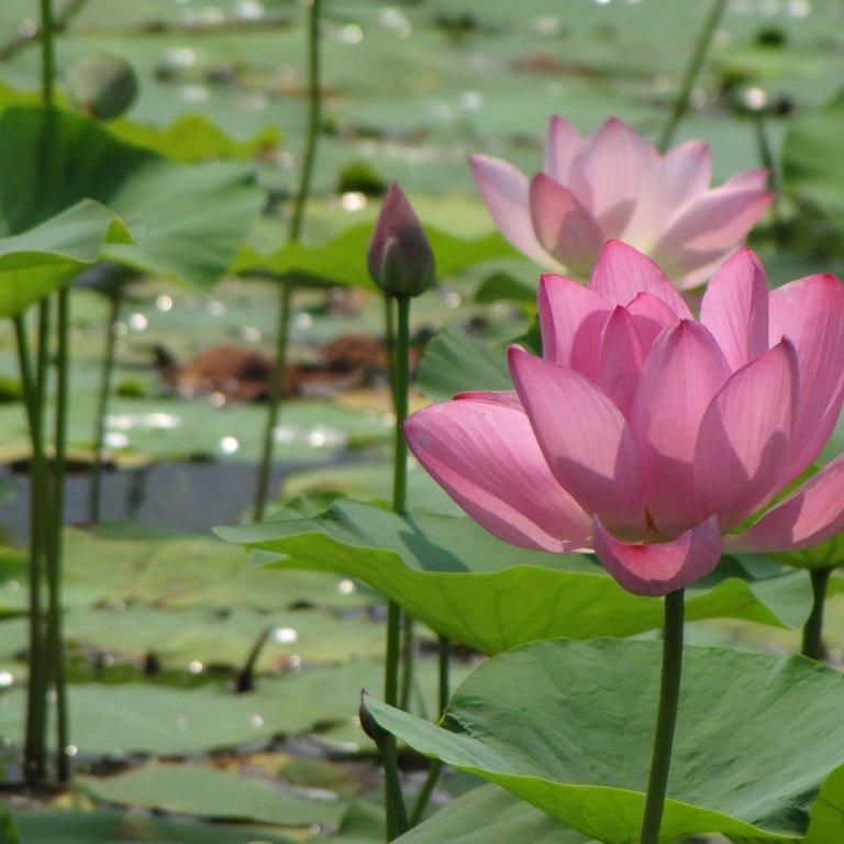 Grand et moyen développement Lotus sacré 'Osiris' (Nelumbo nucifera 'Osiris')