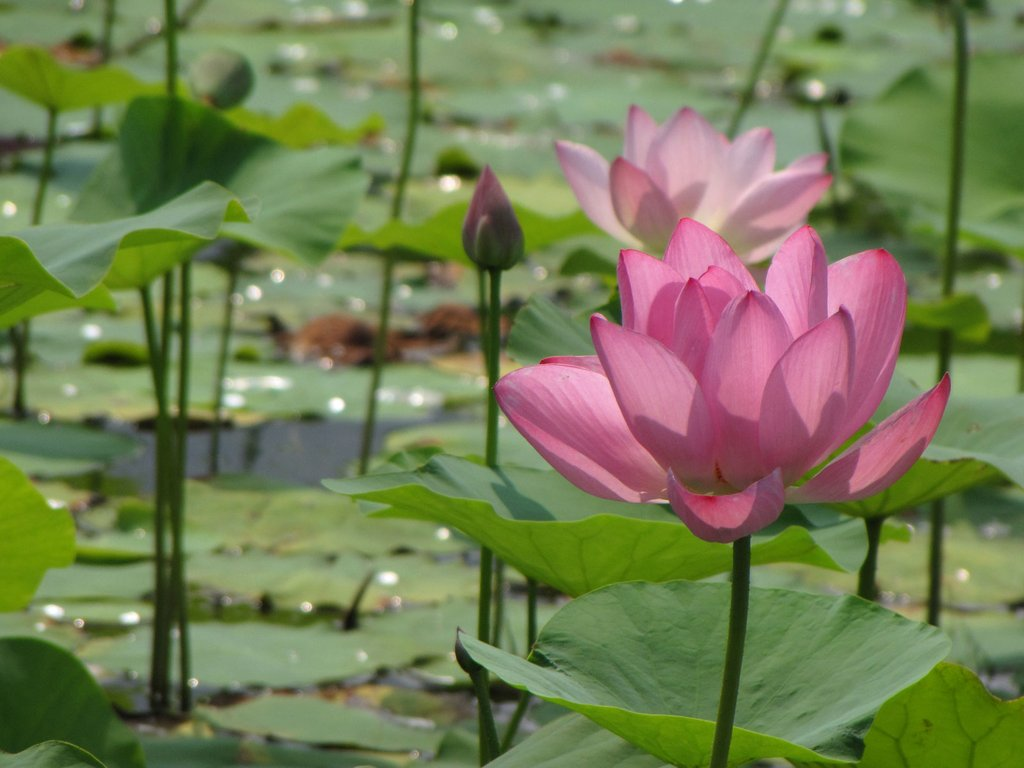 fleurs lotus. Black Bedroom Furniture Sets. Home Design Ideas