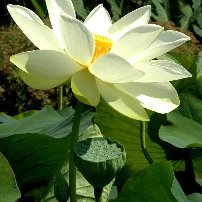 Grand et moyen développement Lotus sacré 'Alba grandiflora' (Nelumbo nucifera 'Alba grandiflora')