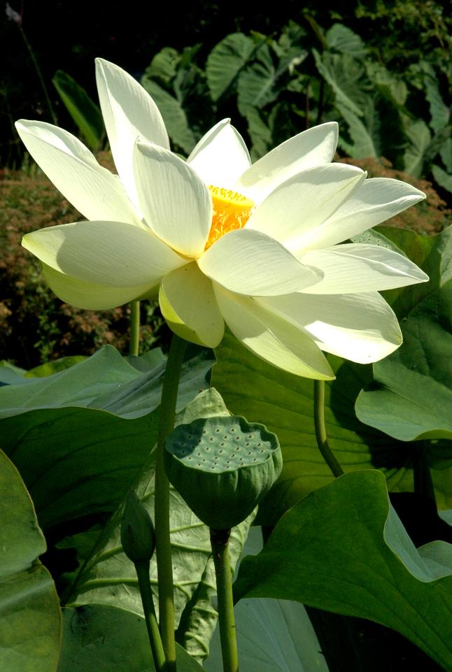 plante bassin 10 graines de LOTUS SACRE NELUMBO NUCIFERA rose jardin,aquatic