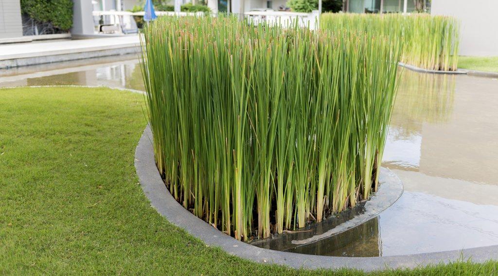 Papyrus planter et bouturer ooreka for Acheter plante