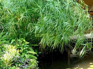 Plantation du papyrus (ou <em>cyperus</em>)