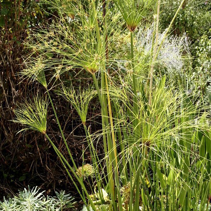 Espèces non rustiques, à protéger ou à rentrer en hiver. Papyrus, papyrus du Nil, souchet à papier (Cyperus papyrus, C. p. percamentus)