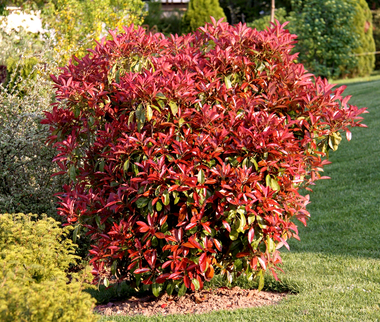 Photinia planter et tailler ooreka - Quand tailler une haie ...