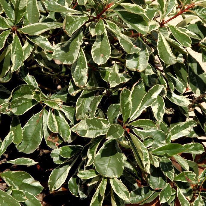 Variétés horticoles Photinia x fraserii 'Pink marble'