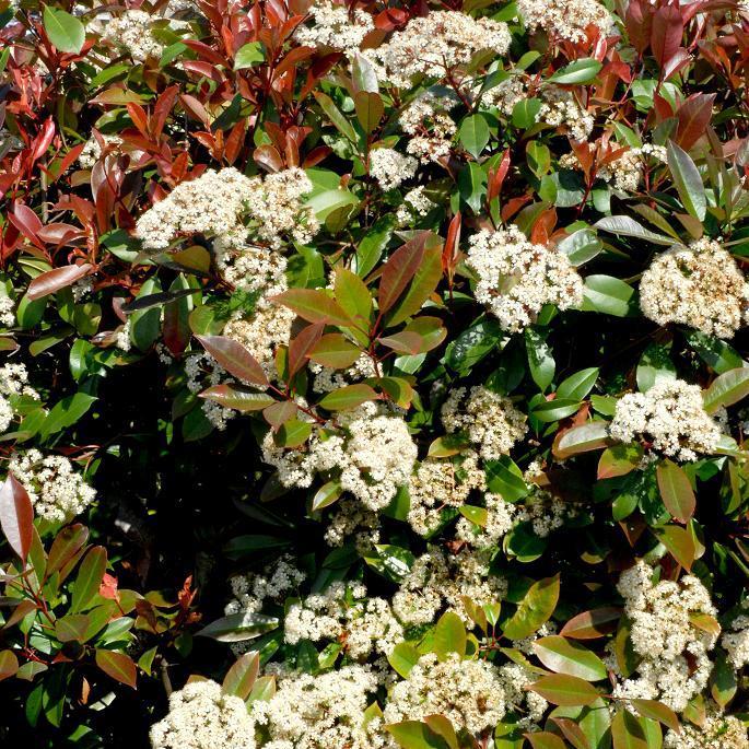 Espèces botaniques Photinia glabra