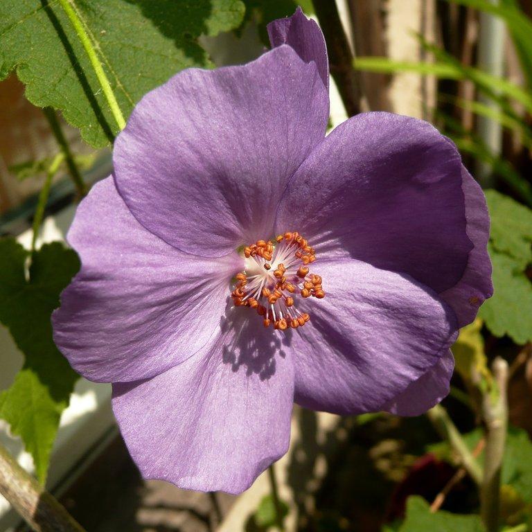 Variétés arbustives 'Violetta' (Abutilon x suntense)