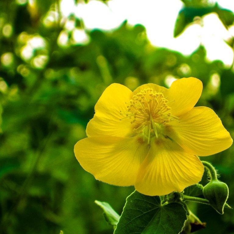 Variétés arbustives Abutilon indien (Abutilon indicum)