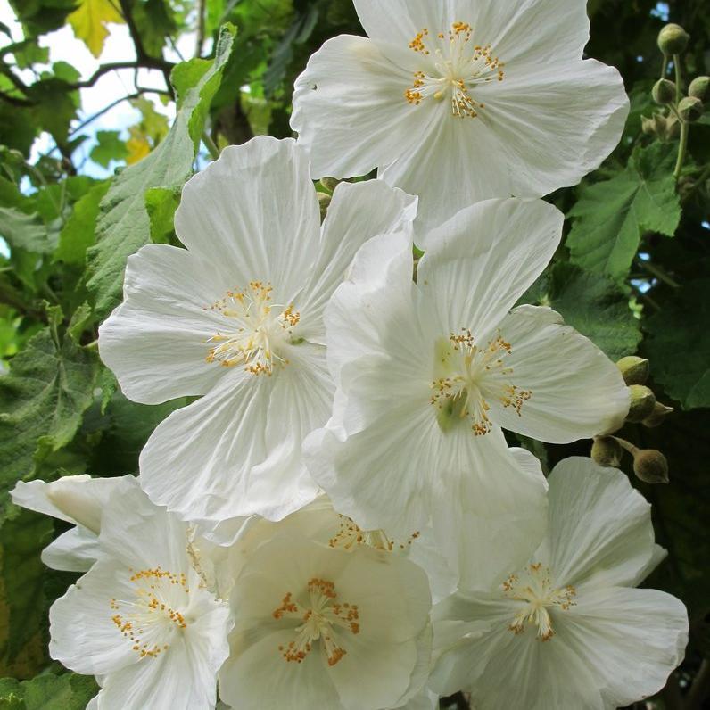 Variétés arbustives Abutilon à feuille de vigne (Abutilon vitifolium)