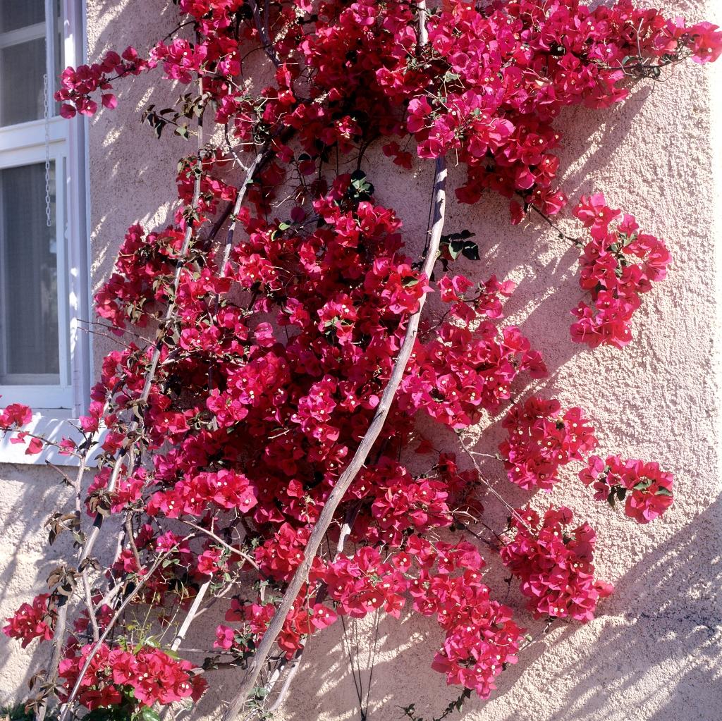 Bougainvillier planter et tailler ooreka for Les plantes et le gel