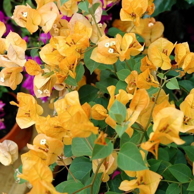Variétés jaunes 'Marie jaune'