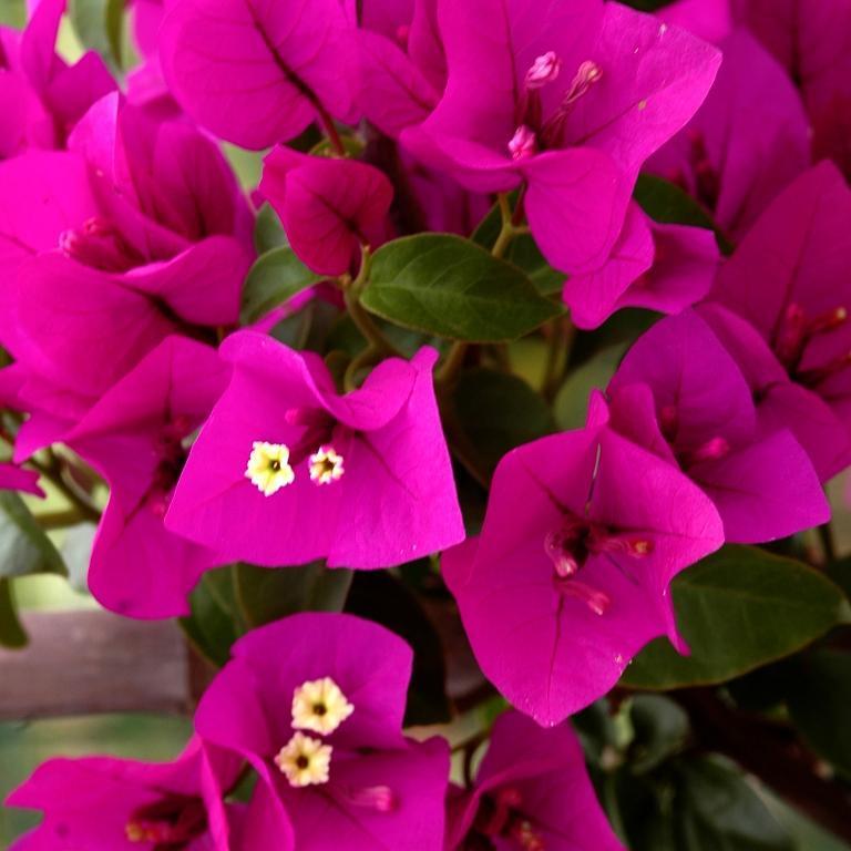 Variétés mauve-violet 'Violet de Mèze'