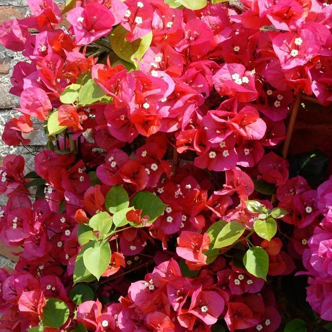 Variétés rouges 'Marie rouge'