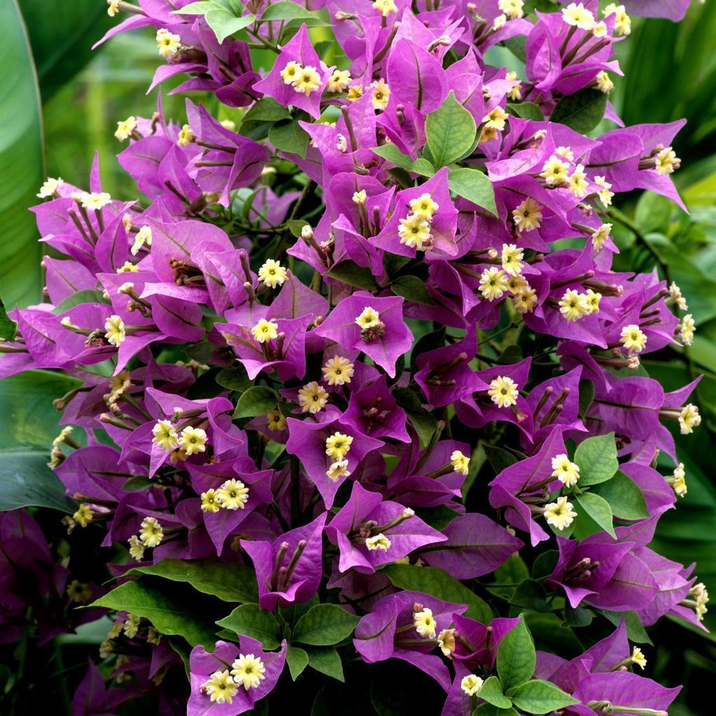 Variétés mauve-violet 'Sanderiana'