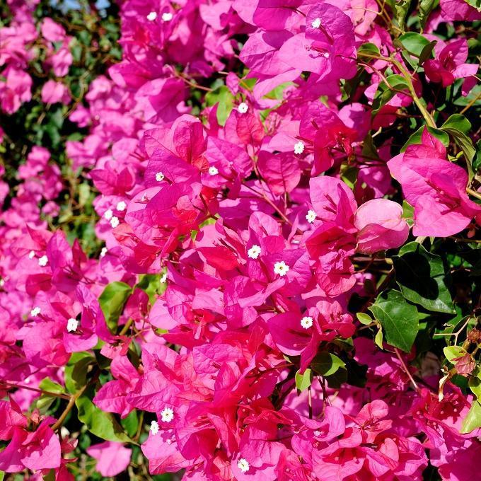 Variétés roses 'Formosa'
