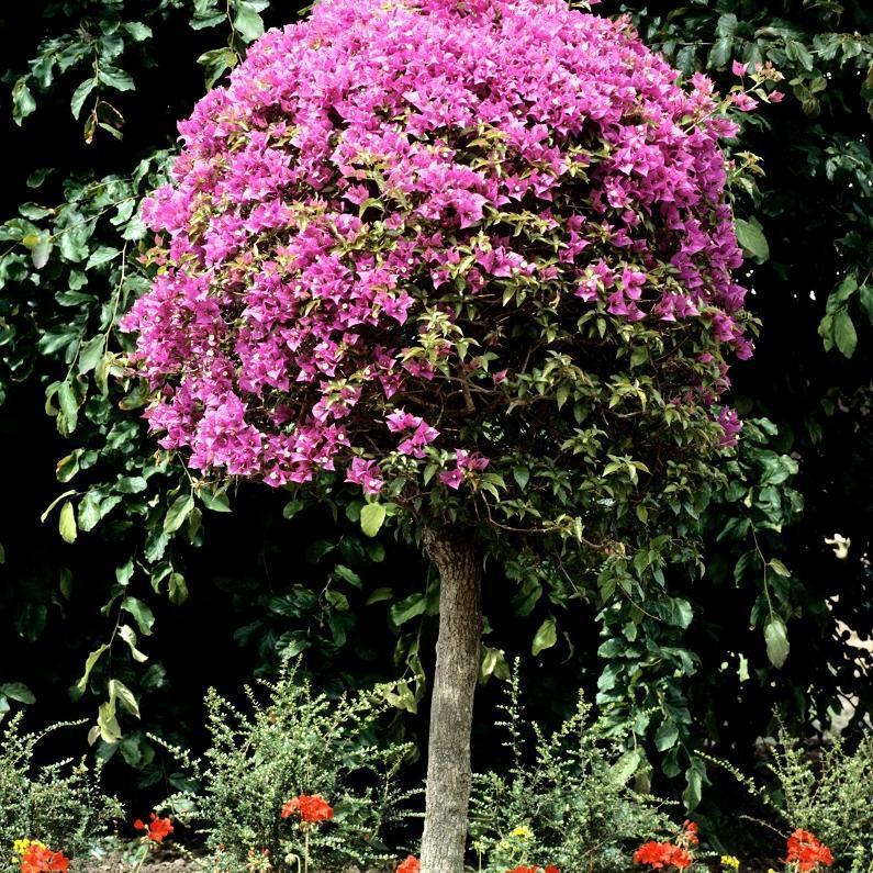 Variétés roses 'Rubiana'