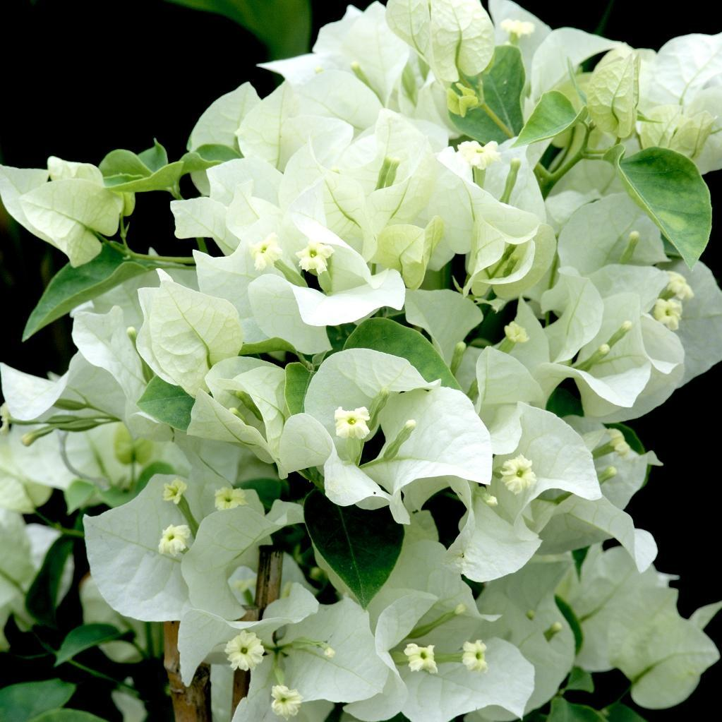 Variétés blanches 'Marie blanc'