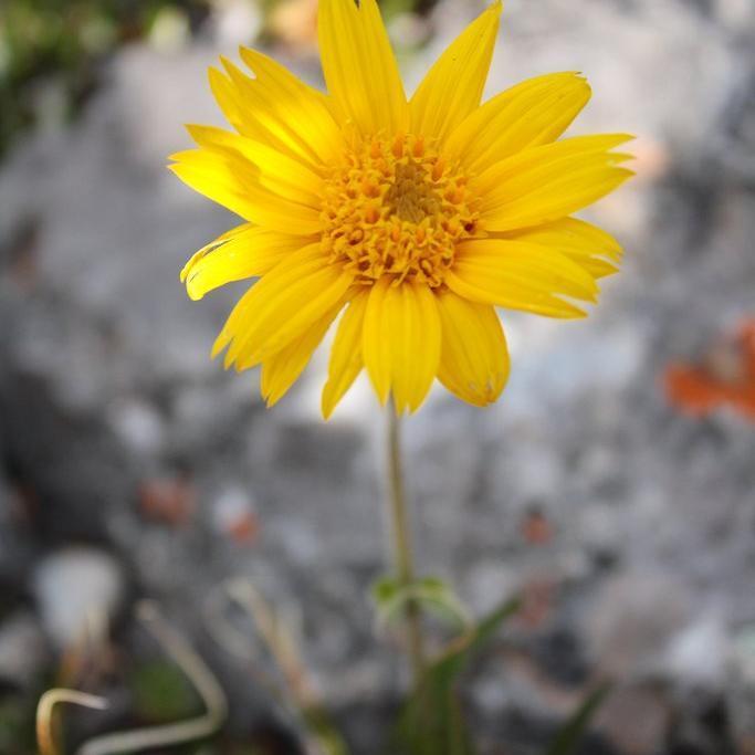Arnique aux feuilles étroites, arnique alpine (A.angustifolia ou alpina)