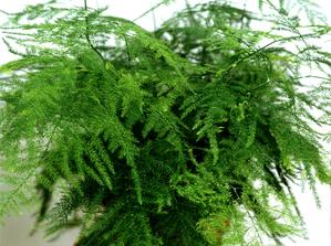 Culture et entretien de l'asparagus