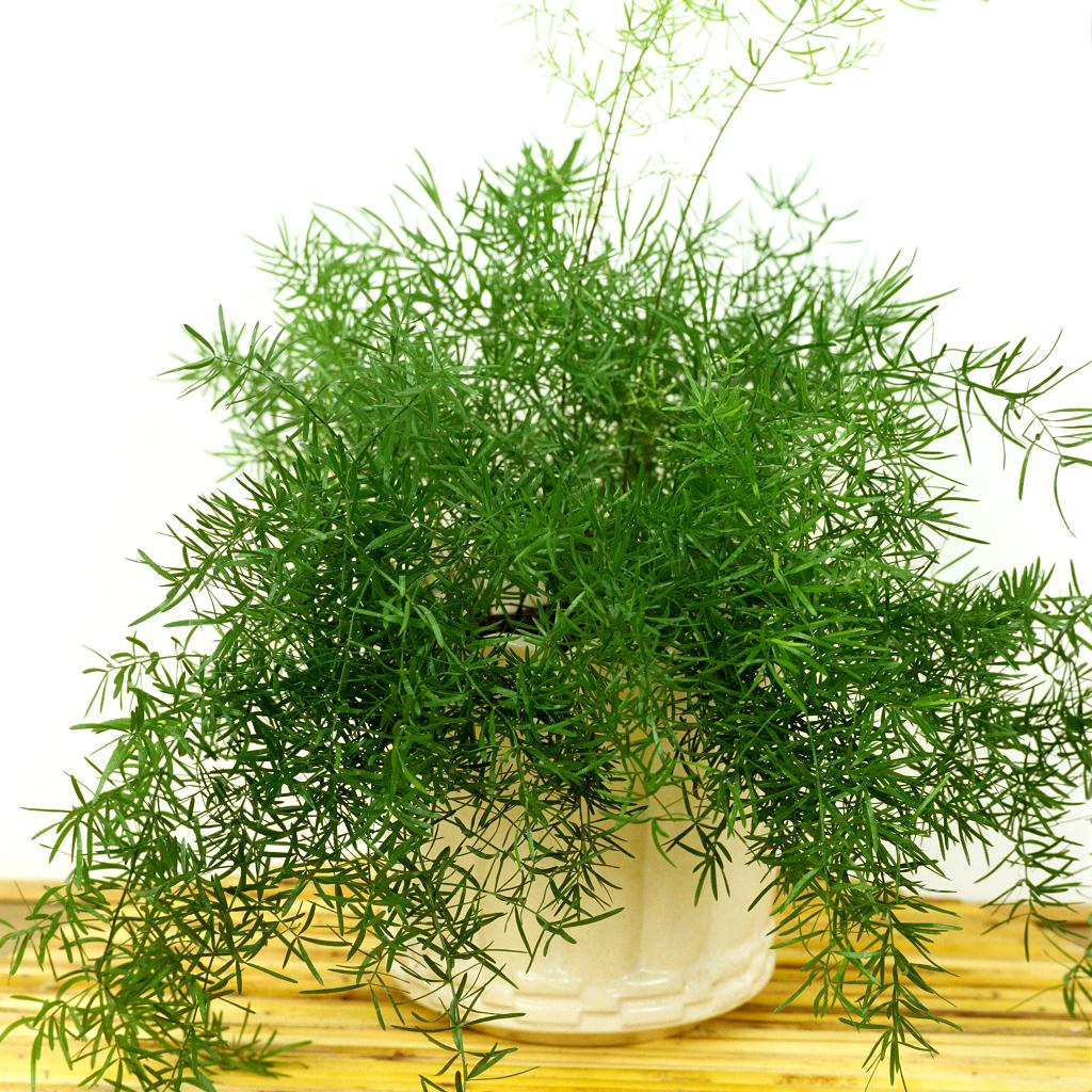 asparagus planter et cultiver ooreka. Black Bedroom Furniture Sets. Home Design Ideas