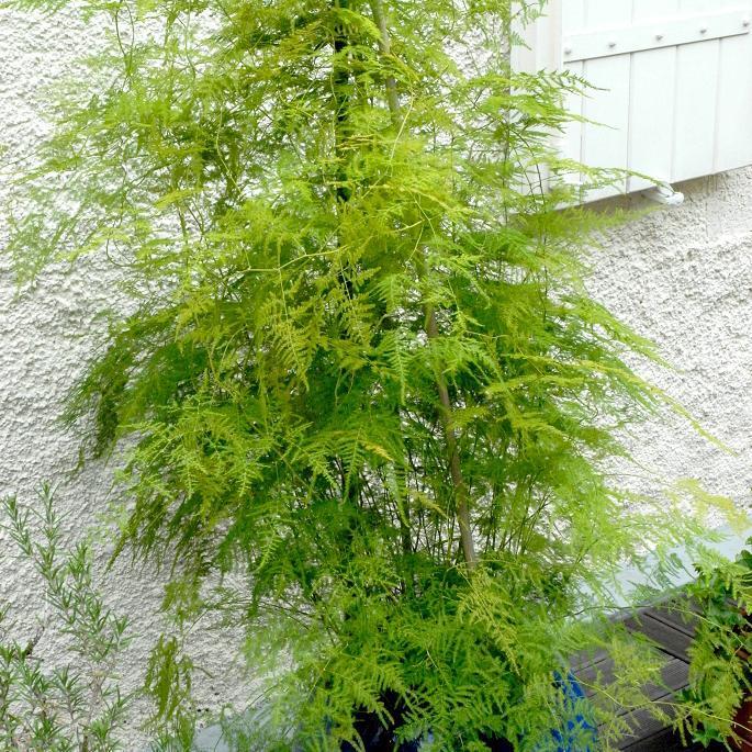 Asparagus plumosus ou asparagus des fleuristes (variété la plus courante)