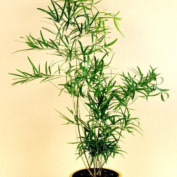 Asparagus falcatus ou Asparagus en «faux»