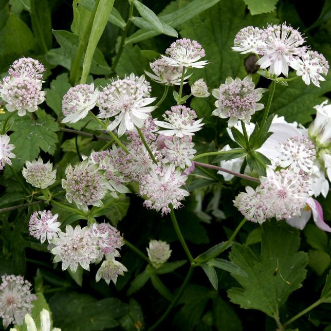 Grande astrance (Astrantia major) 'Sunningdale Variegated'