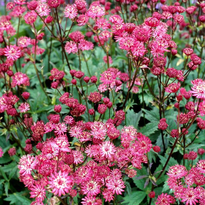 Grande astrance (Astrantia major) 'Ruby Wedding'