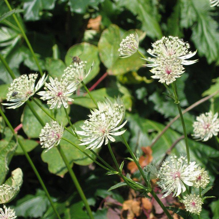 Astrantia major ssp. involucrata 'Shaggy'