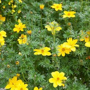 Bidens ferulifolia 'Goldilock Rocks'