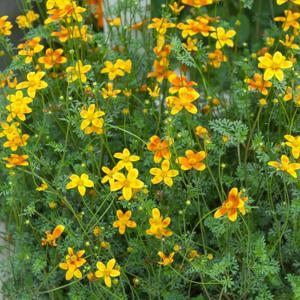 Bidens triplinervia 'Hawaïan Flare Orange Drop'