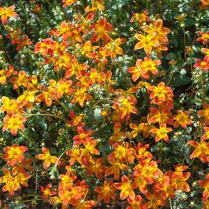 Bidens triplinervia 'Hawaïan Flare Red Drop'
