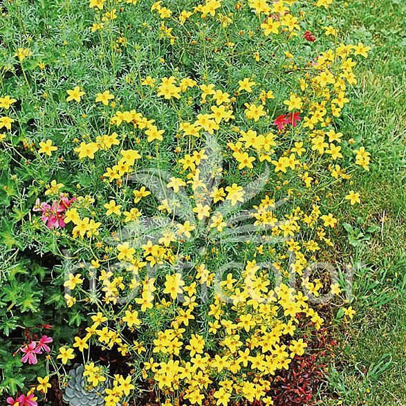 Bidens ferulifolia Peter's Gold Carpet
