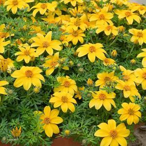 Bidens ferulifolia 'Yellow Charm'