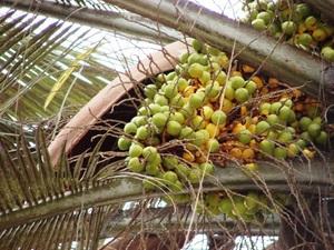 Plantation du cocotier du Chili