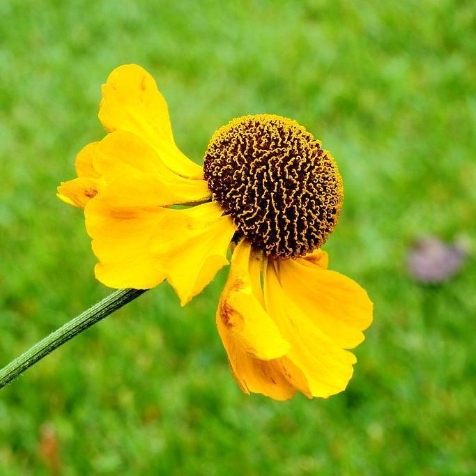 Helenium à floraison plus tardive 'El Dorado'