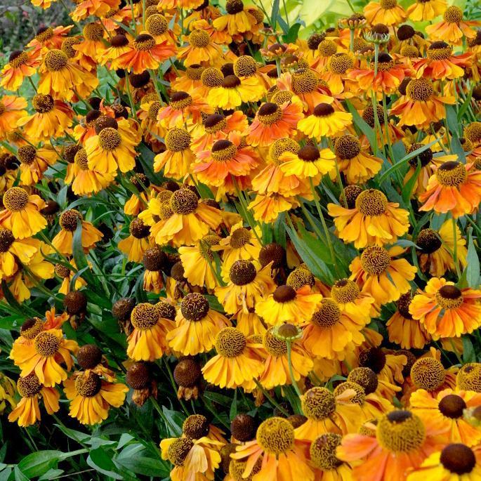 Helenium à floraison précoce 'Sahin's Early Flowerer'